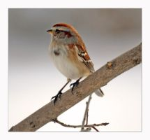 Chipping Sparrow by jasonwilde