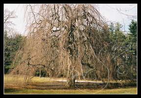 Grandfather Willow by FourPartFox