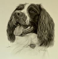 Commission - Springer Spaniel 'Jake' by Captured-In-Pencil