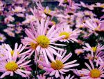 Chrysanthemums II by rosaarvensis