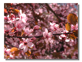 Pink April Blossoms by WillFactorMedia