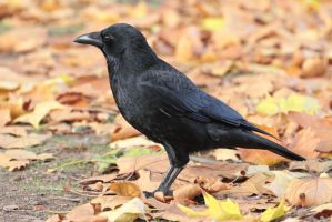 Crow 01 by LydiardWildlife