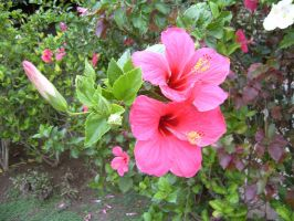 Hibiscus In Fiji by phantomcameron