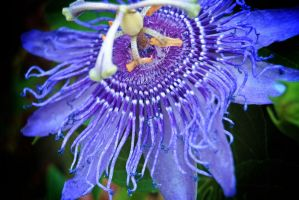 Passion of a Passiflora by TheEyesofSyn