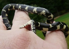 Feisty King Snake by duggiehoo