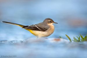 Grey Wagtail by BogdanBoev
