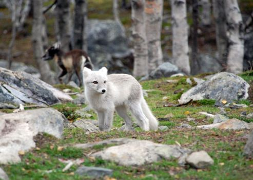 Arctic fox stock 14 by GrayeyesStock