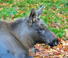 Female moose by TheFunnySpider