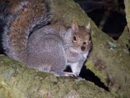 Grey Squirrel by umboody