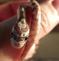 My New Corn Snake by WolfWhisper