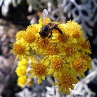 A Bee by MarinaCoric