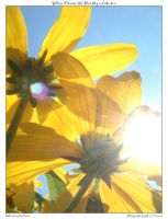 Yellow Flowers, Blue Sky, Sun by yellowcaseartist