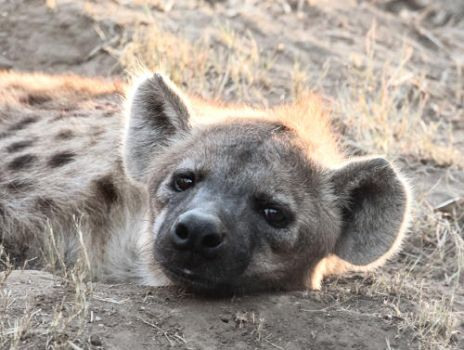 Hyena by FSGPhotography
