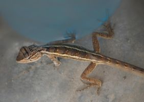 Lizard in the Loo. by jennystokes