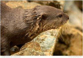 Otter On the Rocks by In-the-picture