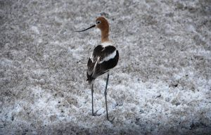 An American Avocet by mikelly