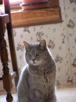 Gray Cat Indoors5 by effing-stock