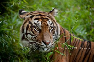 Save the Tiger by tleach0608