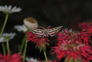 Hummingbird Moth 3 by Tyyourshoes