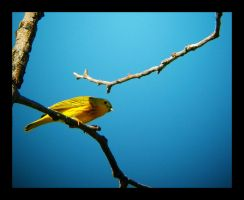 Yellow Warbler by swashbuckler