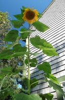 Tall Sunflower by RachelDS
