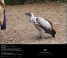 Vulture 02 by Neyjour