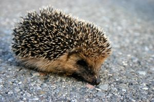Hedgehog by dementedme