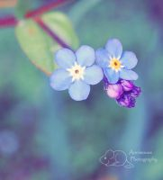 Forget Me Not by Annimouse