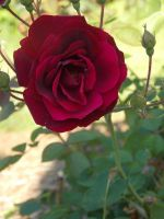 Red Rose by spider69n77