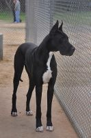 The Great Dane by RoyalRuse