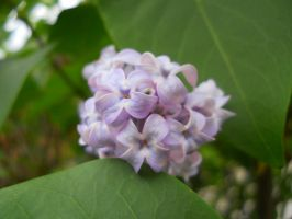 Loverly Lilac by Readmeabook21