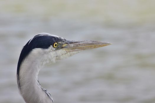 Heron Close-Up 2 by sockhiddenunderarook