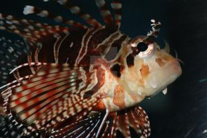 Lion Fish by agbduncan