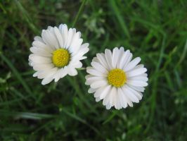Bellis perennis - duo by Sadova302b50