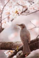 Home Amongst The Sakura by toujin1