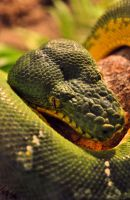 Emerald Tree Boa by sara-satellite