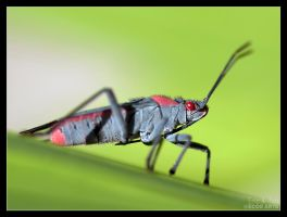 Red-shouldered Bug by Eccoton