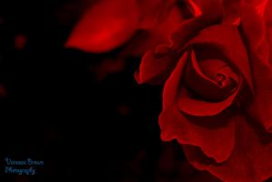 Red Rose by CantRainAllTheTime-1