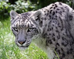 Snow Leopard 5 by SnowPoring