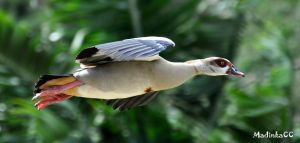 Egyptian Goose in-flight by MadinkaClaireC