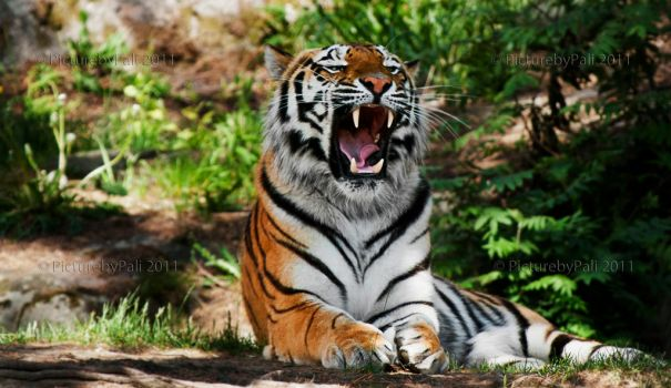 The Siberian Tiger III by PictureByPali