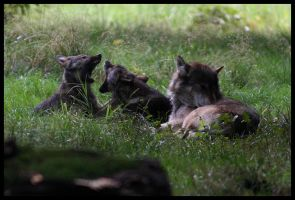 European wolf puppies by Kiba67