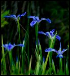 Giant Blue Iris by justfrog