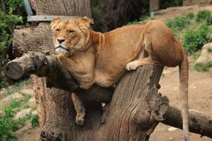 Lazy Lion by PhotosThyria