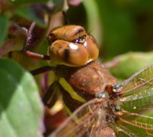 Shropshire damsels and dragons 2 5 by melrissbrook