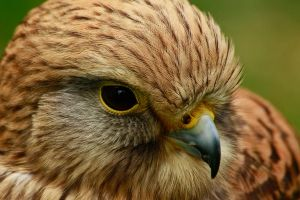 Kestrel Portrait by Tinap
