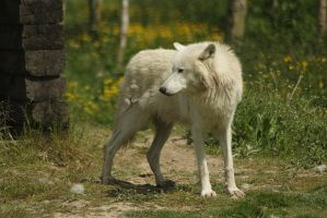 wolve 5 by marob0501