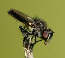 more Robberfly action., by duggiehoo