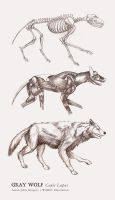 Gray Wolf Orthographic by aaronjohngregory