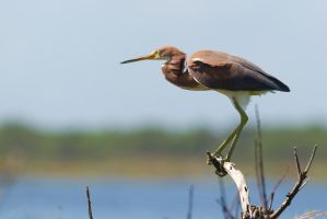 Tri Colored Heron Perched by bovey-photo